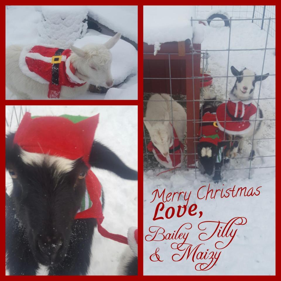 christmas-goats