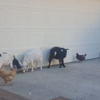Duck, Duck, Attempted Murder