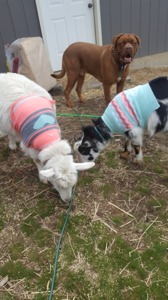 goat sweaters 2