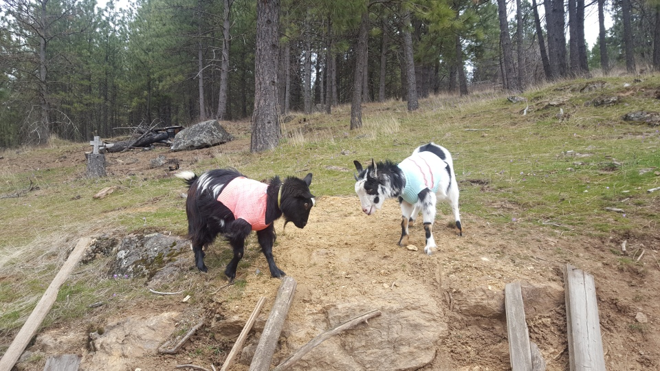goat sweaters
